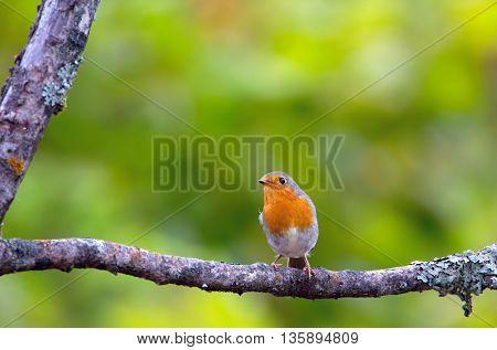 little songbird robin on a dry branch.