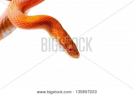 Hypo Fire Corn Snake