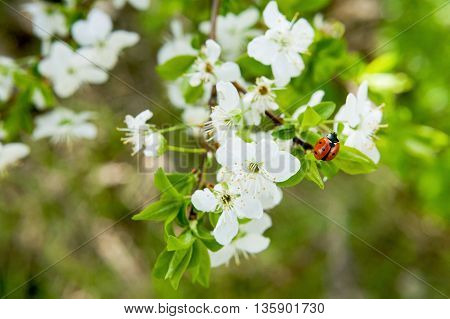 Spring blossoming of an apple-tree. Spring blossoming of cherry. The blossoming apple-tree. The blossoming cherry. The blossoming apricot. Ladybug on the blossoming spring branch.