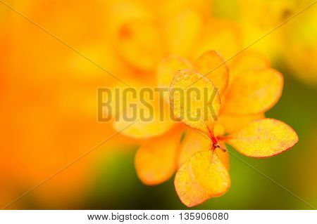 background with yellow leaves of barberry. Autumn