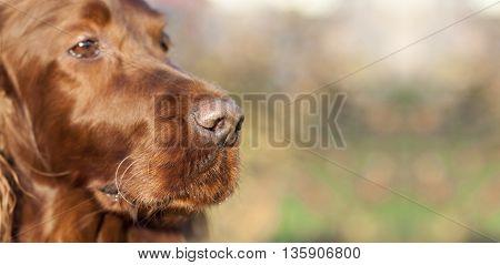 Website banner of a beautiful Irish Setter dog's nose
