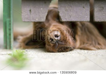 Irish Setter dog puppy smelling over the fence