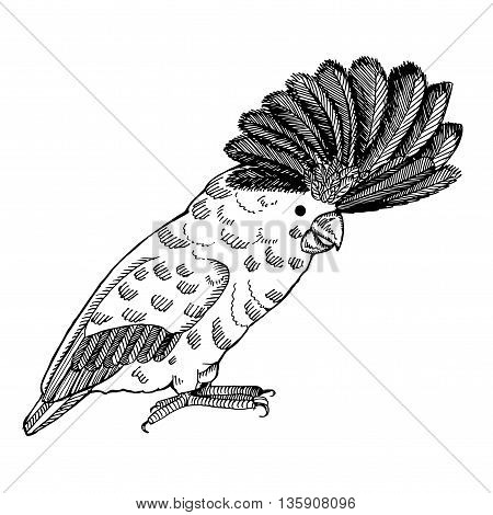 Parrot with pappus. Hand drawn vector stock illustration. Black and white whiteboard drawing.