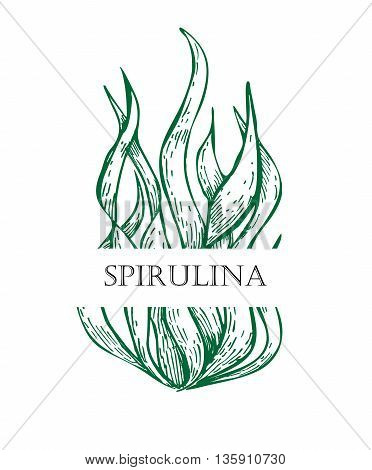 Spirulina algae hand drawn vector. Isolated Spirulina algae label on white background. Superfood engraved style illustration. Organic healthy food sketch