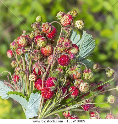 Wild edible berries wild Strawberry green ( Fragaria viridis )
