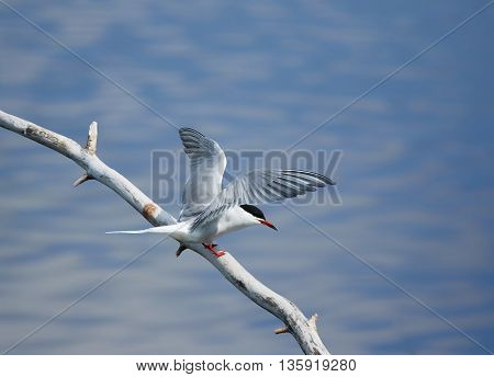 Common Tern On A Tree Branch
