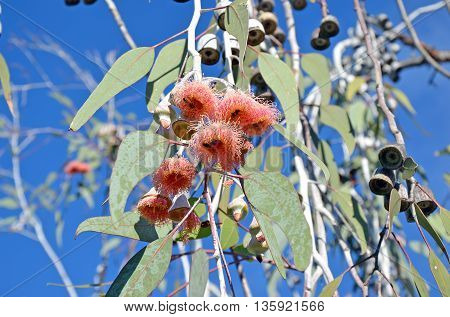 Bees on pink gum tree (Eucalyptus) flowers under a bright blue sky