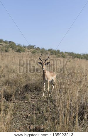 Impala Ram In Pilansberg In South Africa