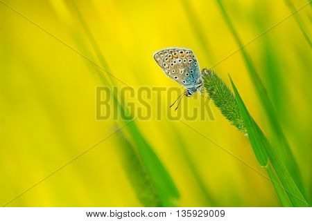 butterfly copper-butterfly sits on timothy grass spikelet