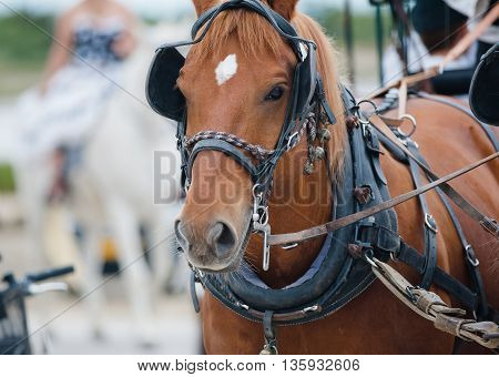 chestnut horse in carriage close up portrait
