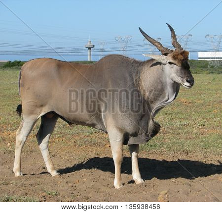 Eland Bull, Koeburg Nature Reserve, Cape Town South Africa 11