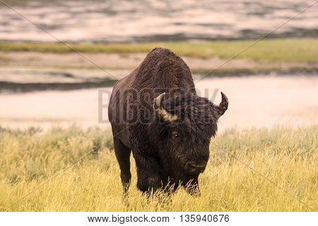 An American bison Grazing  at Yellowstone national park
