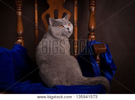 purebred British Shorthair cat on a chair.