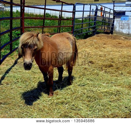 Cute little Shetland Pony looks straight at the camera