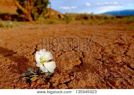 Lone Flower Blooms in The Desert.  Capitol Reef National Park, Utah, USA.