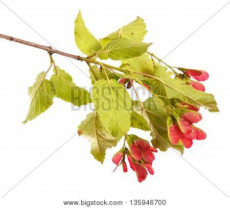 Tatar Maple Branch With Ripe Seeds. Isolated On White Background