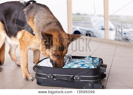 Airport canine. Dog sniffs out drugs or bomb in a luggage. poster