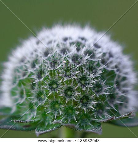 Bushy flower inflorescence knautia. Close-up. blurred background