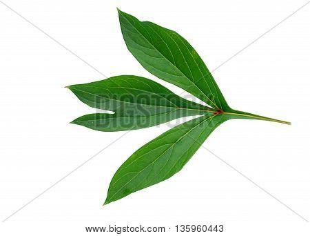 Botanical peony leaf isolated on white background
