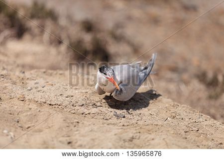 Nesting female Caspian tern Hydroprogne caspia, sitting on a nest in the sand in Southern California.