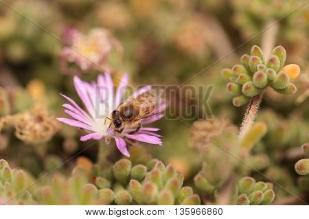 Honeybee Apis mellifera gathers nectar from an ice plant succulent flower along the ground in spring. poster