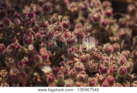 Mesembryanthemum crystallinum, crystalline ice plant, ground cover in southern California