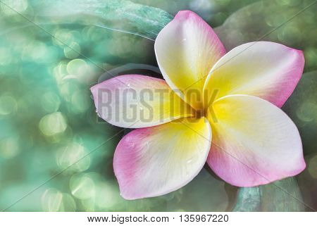 Beautiful Single Fresh Pink Yellow And White Flower Plumeria Or Frangipani On Water In Green Baked C