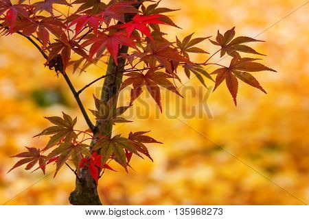 Vivid Red  Maple Leaves in Colorful Autumn