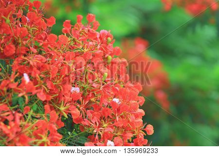 Flame Tree Flower Royal Poinciana
