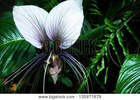 White and purple Tacca nivea flower plant