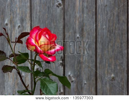 Two Colored Rose In Front Of Wooden Background.