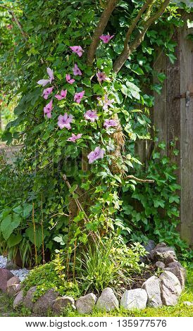 Clematis And Evy Are Growing In The Garden Around A Tree.
