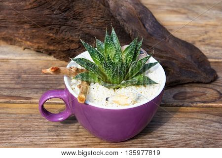 Aloe Vera Plant In A Coffee Pot.