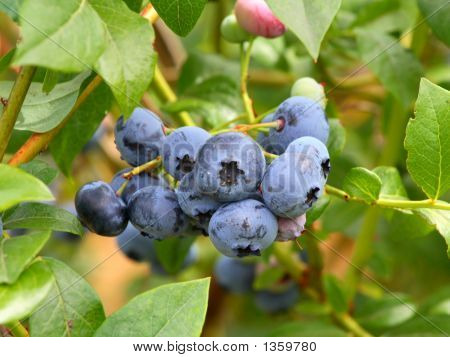 Blueberries On The Branch