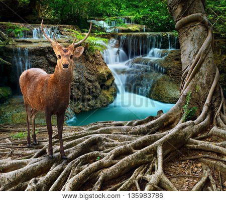 sambar deer standing beside bayan tree root in front of lime stone water falls at deep and purity forest use for wild life in nature theme poster