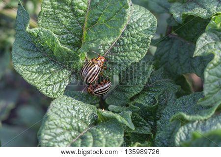 Two Colorado potato beetle on potato leaves