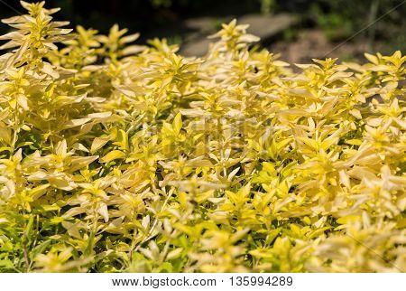 Close up of  the Oregano Origanum vulgare