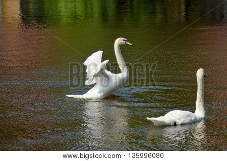 Pair of swans swimming in the lake.The Swan flaps her wings and rises above the water.