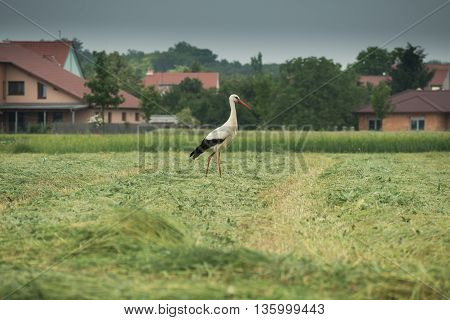 A curious stork is walking on the field and looking for some food