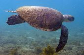 an old sea turtle with algae on its carapace with quietly swimming. poster