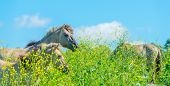 Horses in a meadow in wetland in spring poster