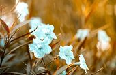 white popping pod bush in garden and sunfare light sepia tone poster