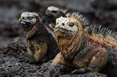 Portrait of the sea iguanas with relatives. Group of marine iguanas are heated under the sun on stony coast. poster