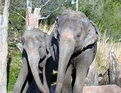 two elephants swaying together poster