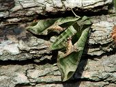 This is a green, mottled moth resting on cottonwood bark. poster