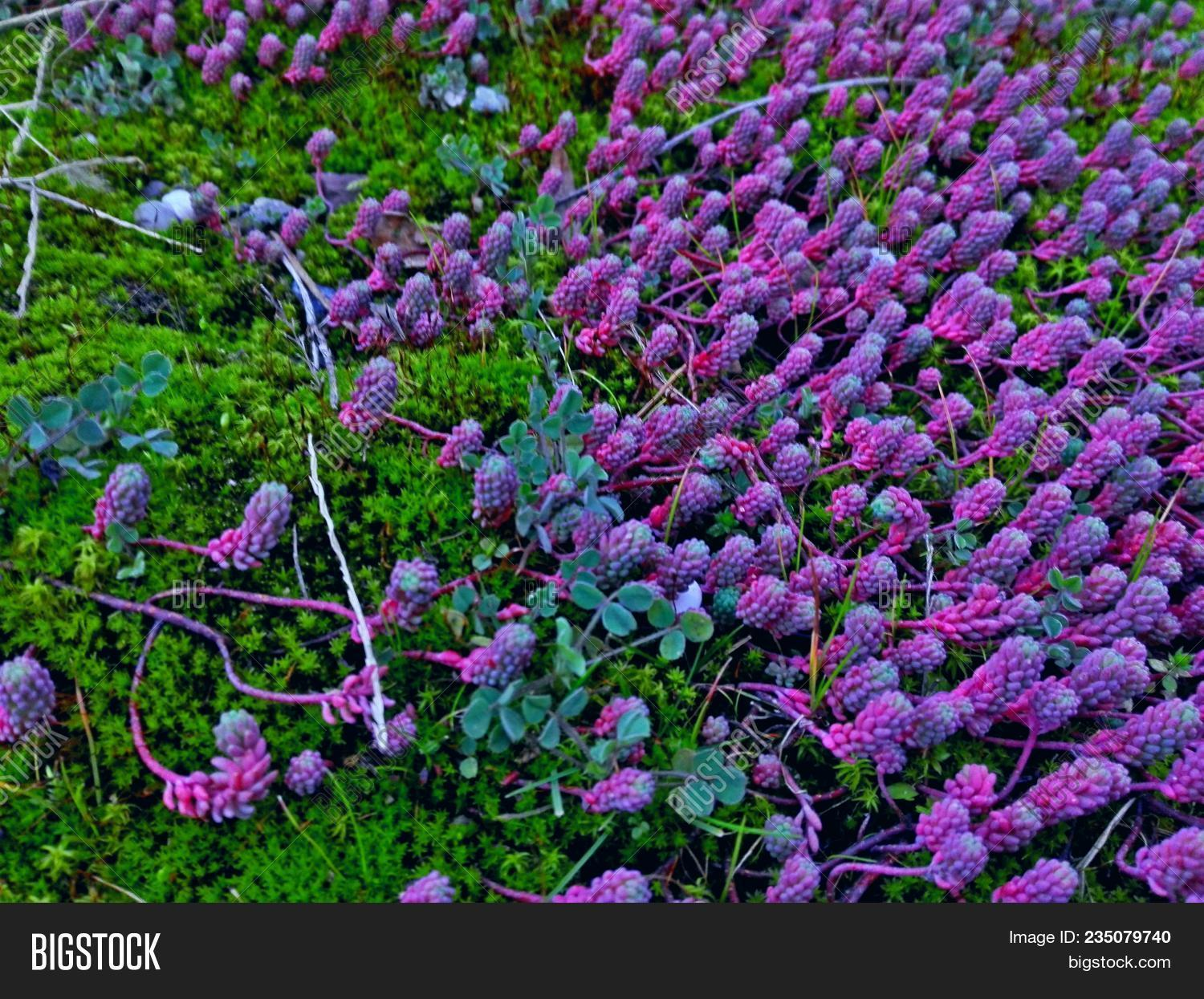 Pink Blue Succulents Image Photo Free Trial Bigstock