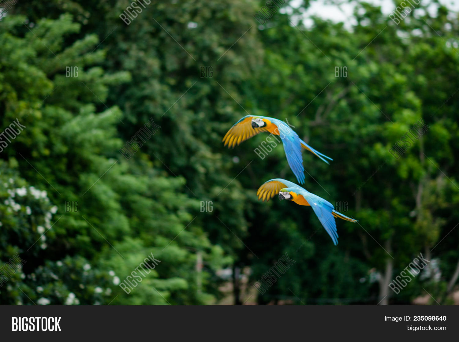 Two Flying Macaws Image Photo Free Trial Bigstock