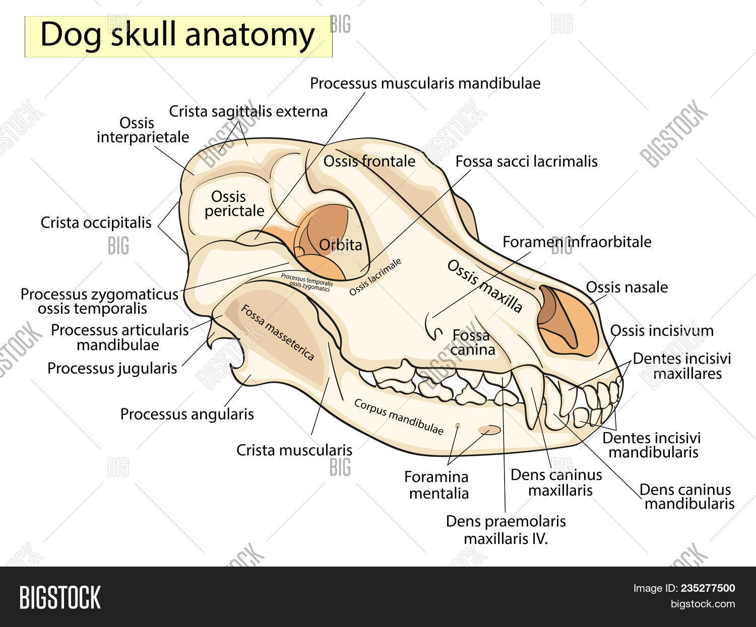 Skull Dog. Structure Image & Photo (Free Trial) | Bigstock