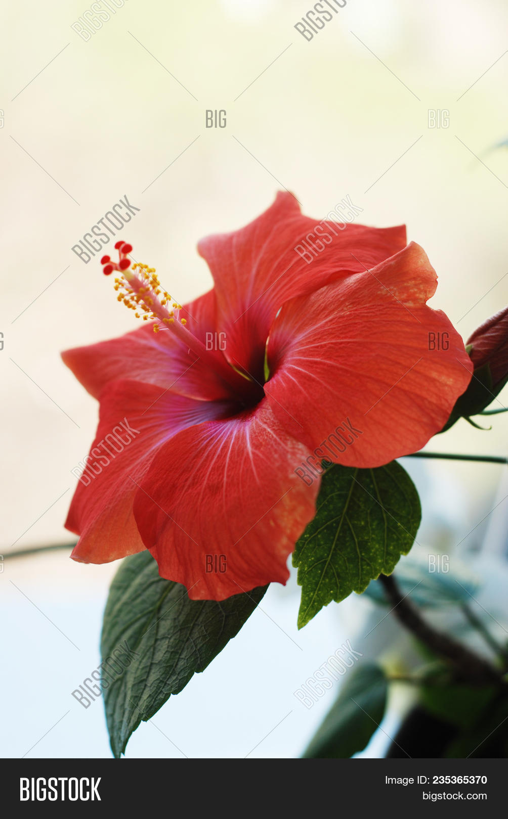 Red hibiscus flower image photo free trial bigstock red hibiscus flower or chinese rose china rose flower with leaves isolated on white izmirmasajfo