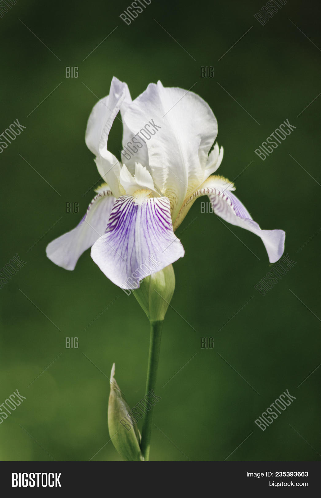 Close Flower Bearded Image Photo Free Trial Bigstock